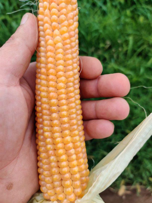 maiz superdulce